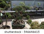 miniature tree in a pot. bonsai. | Shutterstock . vector #546646615