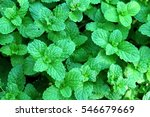 Mint Plant Grow At Vegetable...