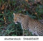 An African Leopard  Panthera...