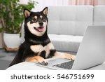 Cute Shiba Inu Dog With Laptop...