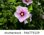 Rose Of Sharon Dewdrop