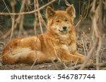 Dingo male is resting in the dry habitat, dingo dog, australian fauna, nature and animals in australia, Canis dingo