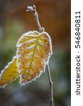 Small photo of Frozen leaf