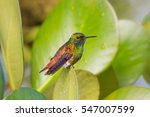 Small photo of Copper-rumped hummingbird (Amazilia tobaci) on a leaf in the wild, in Canaima National Park, Venezuela.