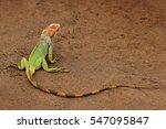 Green Iguana  Portrait Of...