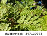 A Common Wood Fern Growing In...