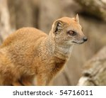 Portrait Of A Yellow Mongoose