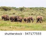 Herd Of Elephants Walking In A...