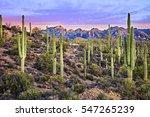 Saguaros At Sunrise Near...