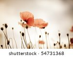 Field Of Corn Poppy Flowers...