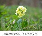 cowslip  primula veris  flower | Shutterstock . vector #547421971