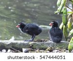 Two Young Common Moorhen ...