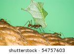 Small photo of Closeup of a leafcutter ant (Acromyrmex sp.) carrying leaf piece