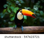 Toucan on the branch in...