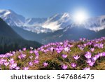Mountain Flower Crocuses In Th...