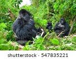 Family Of Mountain Gorillas...