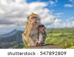 Cute Macaque Monkey With Mothe...