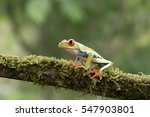 red eyed tree frog on branch ... | Shutterstock . vector #547903801