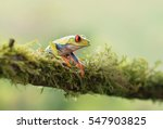 red eyed tree frog on branch ... | Shutterstock . vector #547903825