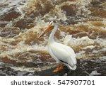 Small photo of American White Pelican
