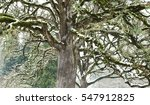 Small photo of Snowy Oak. The white snow accentuated the gnarly winter-bare branches of the old oak tree.