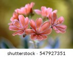Small photo of Flowers of the alpine Lewisia plant