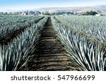 agave tequila landscape to...   Shutterstock . vector #547966699