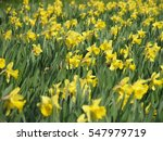 Field Of Yellow Narcissuses In...