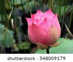 Pink Lotus Flower And Lotus...