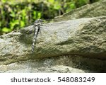 Grey Petaltail Dragonfly   New...
