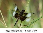 Male Widow Skimmer Dragonfly ...