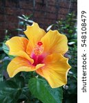 Hibiscus Flower Blooms With...