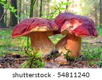 Two Big Mushrooms  Boletus...