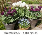 Display Of Tulips  Tulipa  And...
