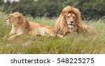 picture of lions in grass | Shutterstock . vector #548225275