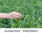 women hand finger picking tea... | Shutterstock . vector #548250601