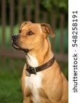 Small photo of Portrait of a nice American Pit Bull Terrier