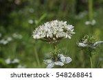 Small photo of Allium nigrum