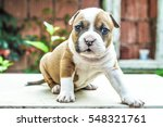 Stock photo stafford shire bull terrier puppy 548321761