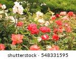 Roses Around The World  Rose...