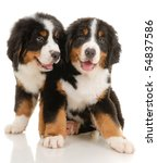 Stock photo two bernese sennenhund puppies on a white background 54837586