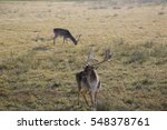 Beautiful Fallow Deer With Lon...