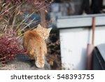 Outdoor Looking Orange Cat In...