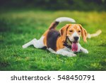 Stock photo beautiful beagle dog outdoors vintage tone 548450791