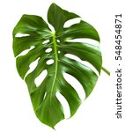 leaf of monstera plant. | Shutterstock . vector #548454871
