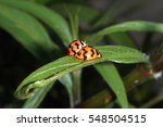 Ladybugs Mating On Green Leaves