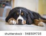 A Young Bernese Mountain Dog...