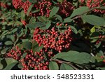 Red Berries Of Cotoneaster