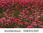 Zinnia Beautiful Colorful...