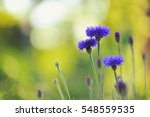 Blue Cornflowers With Bokeh  ...